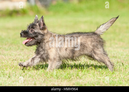 Most Inspiring Cairn Terrier Ball Adorable Dog - adorable-cairn-terrier-puppy-dog-running-playing-frolicking-outside-hmh964  HD_37682  .jpg