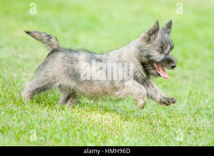 Most Inspiring Cairn Terrier Ball Adorable Dog - adorable-cairn-terrier-puppy-dog-running-playing-frolicking-outside-sunny-summer-day-green-grass-happy-hmh96d  HD_37682  .jpg