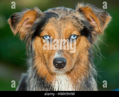 Gorgeous blue eyed Australian Shepherd Shepard tri-color Aussie merle with wet face, floppy ears and funny expression - Stock Photo
