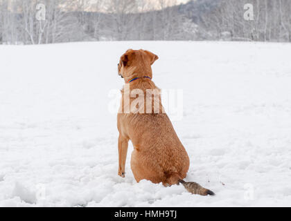 Handsome mixed breed red brown dog sitting and looking out attentively over snowy scene - Stock Photo