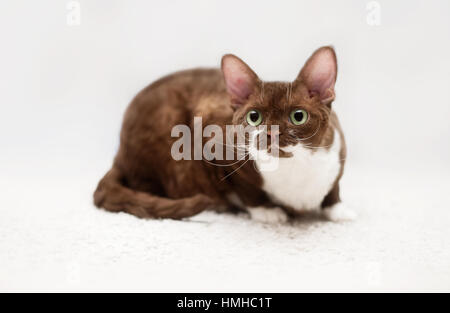 Portrait of young devon rex cat - Stock Photo