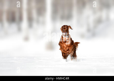 Red irish setter dog in snow field - Stock Photo