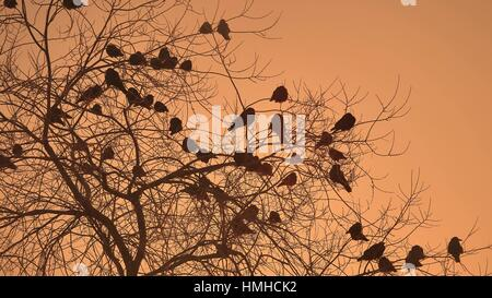 sunset crows flock of nature birds sitting on the tree winter cold - Stock Photo