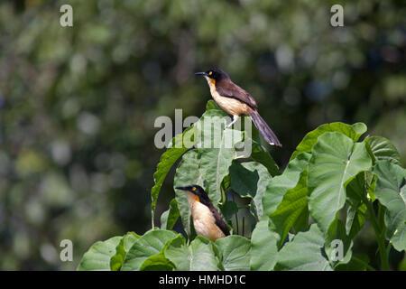 Black capped donacobius perched in marsh vegetation in Brazil - Stock Photo