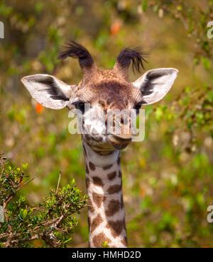 Adorable baby giraffe looking silly with foliage in background in Kenya - Stock Photo