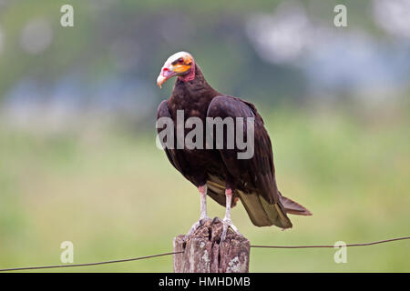 Lesser yellow headed vulture in Brazil - Stock Photo