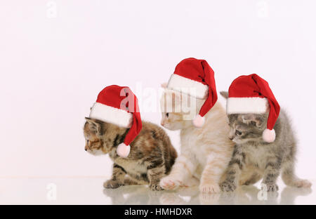 three adorable furry kittens interested in something on white background, happy animal concept - Stock Photo