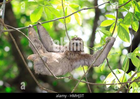 Three-toed Sloth (Bradypus variegatus). Manuel Antonio National Park, Costa Rica.