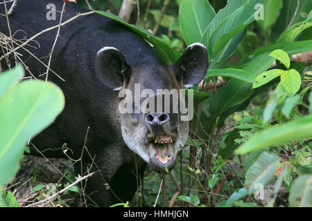 Baird's Tapir (Tapirus bairdii) feeding in rainforest. Corcovado National Park, Osa Peninsula, Costa Rica. - Stock Photo