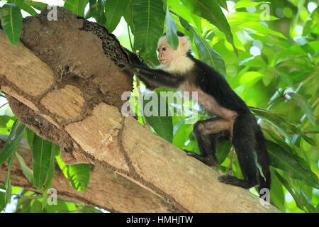 White-faced capuchin monkey (cebus capucinus) feeding at termite nest. Palo Verde National Park, Guanacaste, Costa - Stock Photo