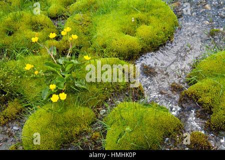 Marsh marigold Caltha palustris growing amongst moss beside mountain stream near the Col du Tourmalet Pyrenees National - Stock Photo