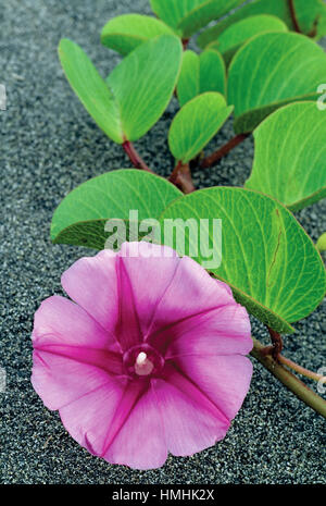 Beach Morning Glory flower (Ipomoea pes-caprae) Gandoca- Manzanillo Wildlife Refuge, Caribbean coast, Costa Rica - Stock Photo
