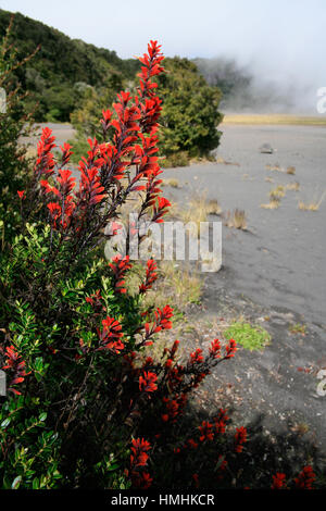 Indian's Paintbrush flowers (Castilleja sp.) near the active crater in Irazú Volcano National Park, Costa Rica. - Stock Photo