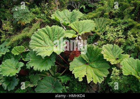 Poor Man's Umbrella (Gunnera insignis) in Irazú Volcano National Park, Costa Rica. - Stock Photo