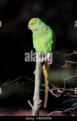 Ring-Necked Parakeet, (Psittacula krameri), adult on tree, Mannheim, Germany, Europe - Stock Photo