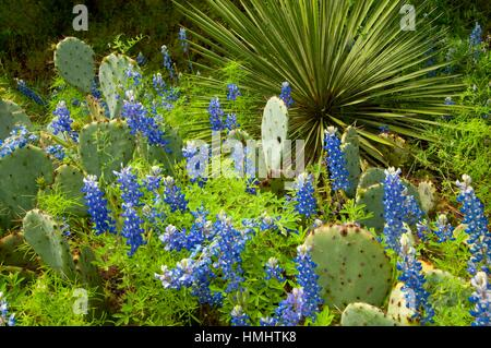 Texas bluebonnet with prickly pear and yucca, Inks Lake State Park, Texas. - Stock Photo
