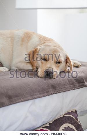 Beautiful Labrador sleeping on sofa - Stock Photo