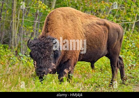 Wood Buffalo/Bison (Bison bison athabascae) Roadside bull grazing on grass, Fort Providence, Northwest Territories, - Stock Photo