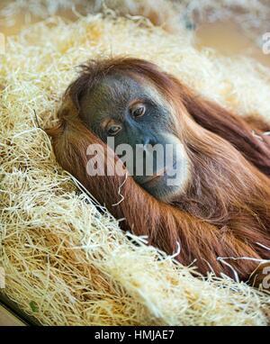 Sumatran orangutan (Pongo abelii) at rest. - Stock Photo