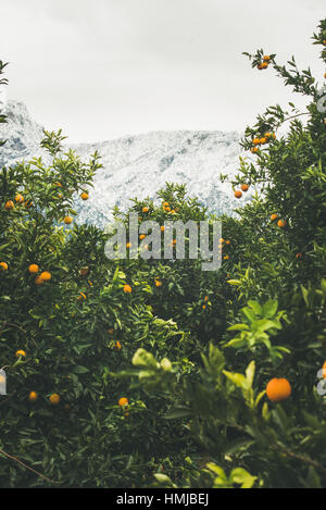 Trees with oranges in mountain garden, Dim Cay district, Alanya - Stock Photo
