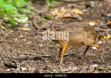 Java mouse-deer (Tragulus javanicus), Kaeng Krachan National Park, Phetchaburi, Thailand - Stock Photo