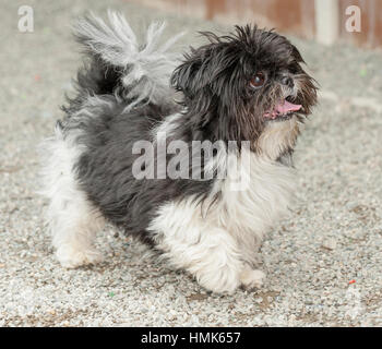 black and white toy breed dog full body trotting looking up outside - Stock Photo