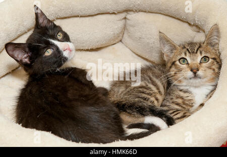 Two kittens lying down in round bed looking up - Stock Photo