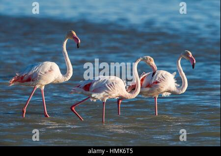 European Flamingo, Great Flamingo, Phoenicopterus roseus, Saintes-Maries-de-la-Mer, Parc naturel régional de Camargue, - Stock Photo