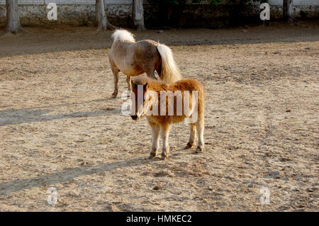 Cute and Little pony in the paddock - Stock Photo