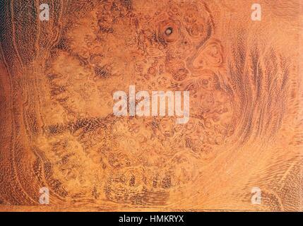Black Locust or False Acacia root wood (Robinia pseudoacacia), Fabaceae. Detail. - Stock Photo