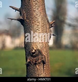 Black Locust or False Acacia bark (Robinia pseudoacacia), Fabaceae. Detail. - Stock Photo