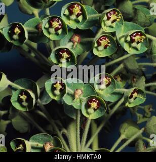 Spurge cyathia (Euphorbia sp), Euphorbiaceae. - Stock Photo