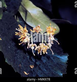 Large-leaved linden flowers (Tilia platyphyllos), Malvaceae. - Stock Photo