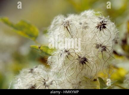 Old man's beard, Traveller's Joy (Clematis vitalba), Ranunculaceae. - Stock Photo