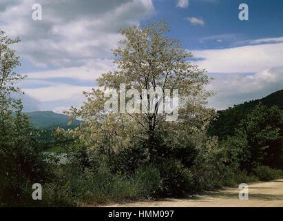 Black Locust or False Acacia (Robinia pseudoacacia), Fabaceae. - Stock Photo