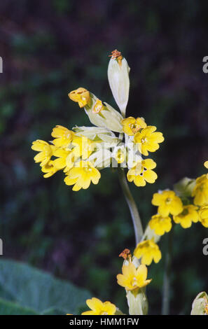 Cowslip, common cowslip (Primula veris), Primulaceae. - Stock Photo
