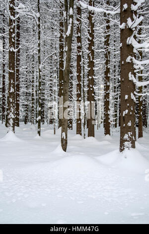 Norway spruce trees (Picea abies) in coniferous forest showing trunks and branches covered in snow in winter - Stock Photo