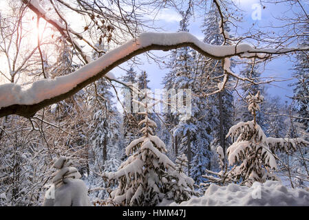 Tree branch laden with snow in coniferous spruce forest in winter at sunset - Stock Photo
