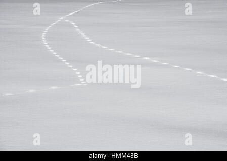 Two animal tracks merging in snow covered field in winter - Stock Photo