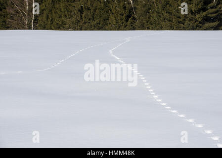 Two animal tracks merging in snow covered field leading to forest in winter - Stock Photo