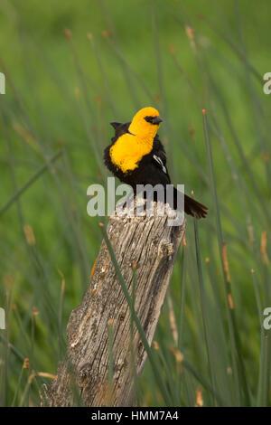 Yellow-headed blackbird, Malheur National Wildlife Refuge, Oregon - Stock Photo