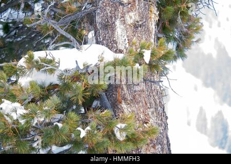 Pine boughs and needles with snow flakes frost frozen freezing branch - Stock Photo