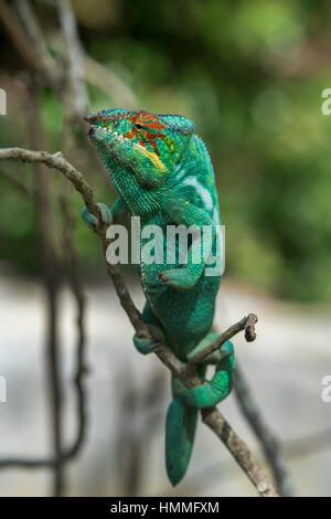 Madagascar, Nosy Be (Big Island) off the northwest coast of mainland Madagascar. Lemuria Land, Nosy Be panther chameleon - Stock Photo