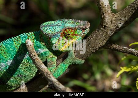 Madagascar, Nosy Be (Big Island) off the northwest coast of mainland Madagascar. Lemuria Land, Nosy Be panther chameleon - Stock Photo