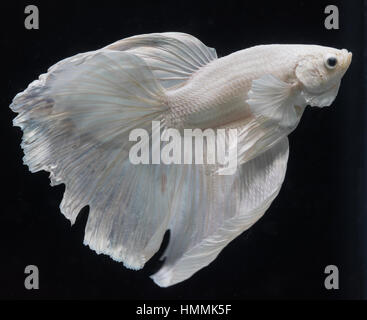 Betta Splendens (Siamese Fighting Fish). Platinum half-moon dumbo male. - Stock Photo
