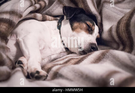 Black white and tan Jack Russell Terrier pet dog asleep on his side wrapped in a brown check woollen blanket with - Stock Photo