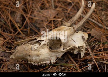 A deer skull found in decay in the woods in North Carolina. - Stock Photo