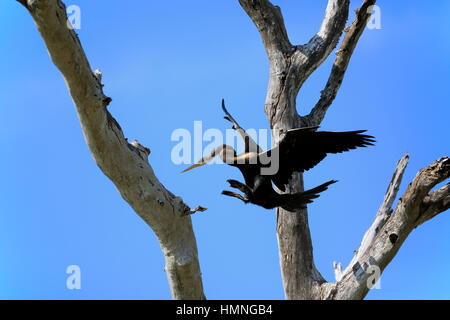 Oriental Darter, (Anhinga melanogaster),  Eastern Darter, Indian Darter, Oriental Anhinga, adult on branch starts - Stock Photo