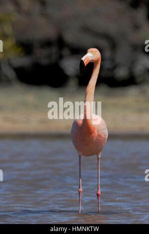 Galapagos Greater Flamingo (Phoenicopterus Ruber) standing, Las Bachas Beach, Santa Cruz, Galapagos Islands, Ecuador - Stock Photo