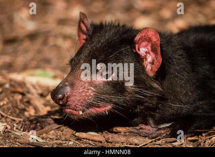 Tasmanian Devil, (Sarcophilus harrisii), Australia - Stock Photo